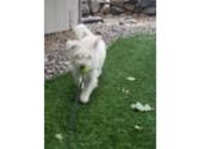 Adopt Milo a Terrier (Unknown Type, Medium) / Poodle (Miniature) / Mixed dog in