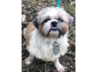 Adopt INDY a White - with Brown or Chocolate Shih Tzu / Mixed dog in Darien