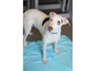 Adopt Spankie a White Pointer / Mixed dog in Bloomingdale, IL (25863740)