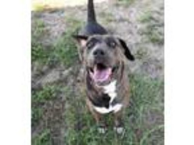 Adopt Stray - Park Ave - Avail 5-18 a Gray/Blue/Silver/Salt & Pepper Catahoula