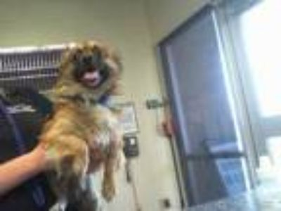 Adopt LANDO a Brown/Chocolate - with Black Pekingese / Pomeranian / Mixed dog in