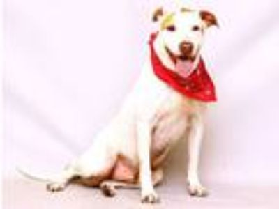 Adopt LAZLO a White - with Tan, Yellow or Fawn Hound (Unknown Type) / Mixed dog