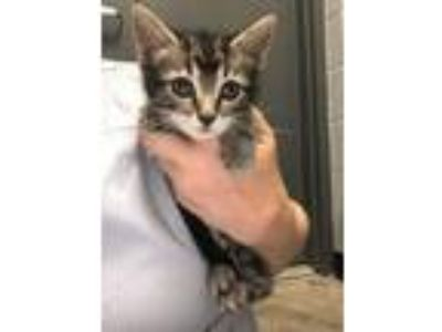 Adopt Betsy Kitten 3 a Domestic Short Hair