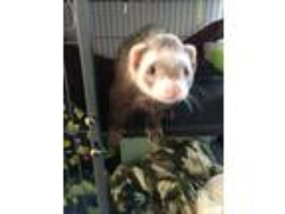 Adopt Padfoot & Ghost a Ferret
