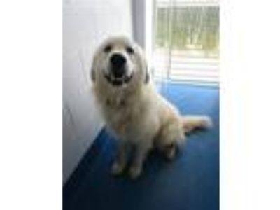 Adopt KING a Great Pyrenees