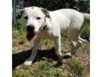 Adopt Tee a White Retriever (Unknown Type) / Mixed dog in Chattanooga