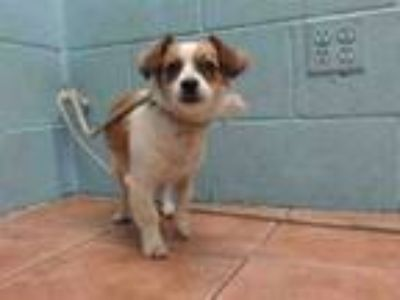 Adopt JELLYBEAN a Parson Russell Terrier, Mixed Breed