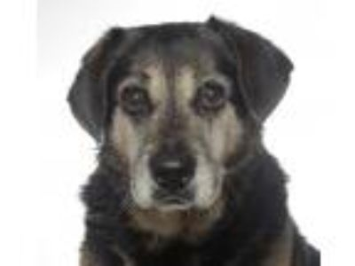 Adopt Luke a Black - with Tan, Yellow or Fawn Beagle / Mixed dog in oakland