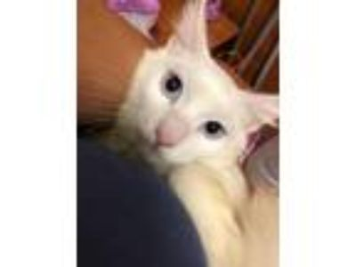 Adopt Beautiful Blue a Domestic Short Hair