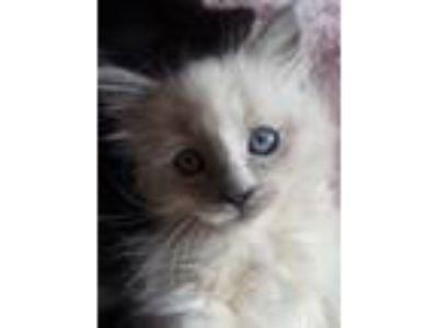 Adopt Lil Lulu a Domestic Long Hair, Siamese