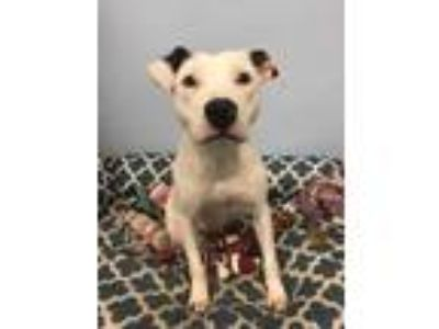 Adopt Harlowe a White Retriever (Unknown Type) / Mixed dog in LaGrange