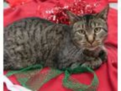 Adopt Benny a Domestic Short Hair