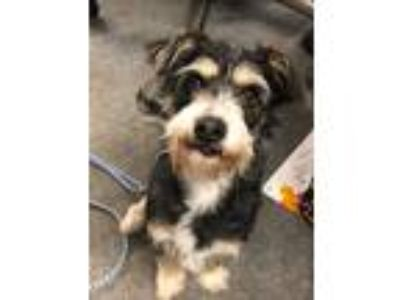 Adopt Lilly a Black - with Tan, Yellow or Fawn Miniature Schnauzer / Dachshund /