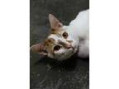 Adopt Simba a White Domestic Shorthair / Domestic Shorthair / Mixed cat in
