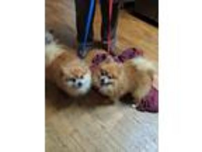Adopt Pumba and Timon a Red/Golden/Orange/Chestnut - with White Pomeranian /