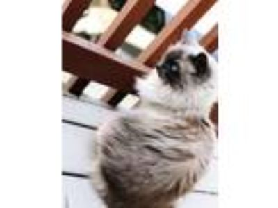 Adopt Himalaya a Tan or Fawn Ragdoll (long coat) cat in Oakdale, CA (25340548)