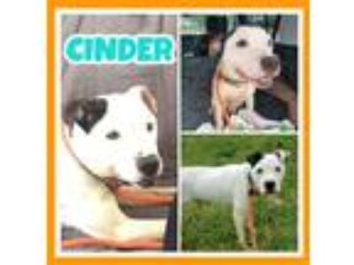 Adopt Cinder4 a Dalmatian / Mixed dog in Fort Collins, CO (23802721)