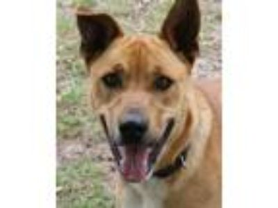 Adopt Bella a Tan/Yellow/Fawn - with White Belgian Malinois / Mixed dog in