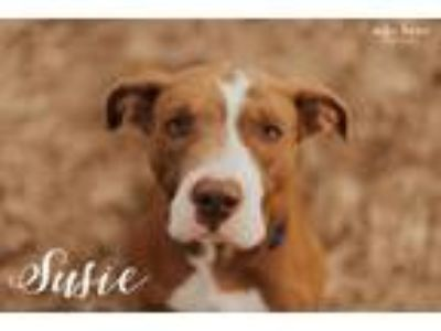 Adopt Susie a Pit Bull Terrier