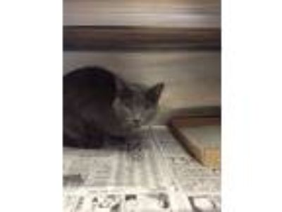 Adopt Mist a Gray or Blue Russian Blue / Domestic Shorthair / Mixed cat in