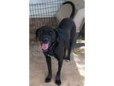 Adopt Rocky a Black Labrador Retriever