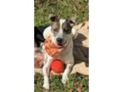 Adopt Polly a Pointer, Mixed Breed