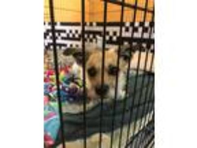 Adopt Wendy a Jack Russell Terrier