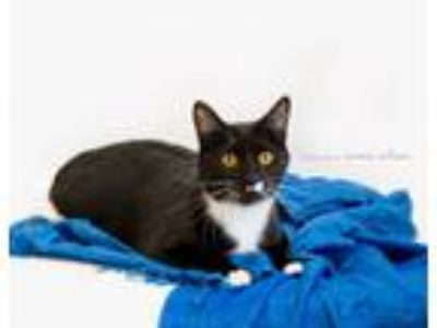 Adopt BOB a Domestic Short Hair, Manx