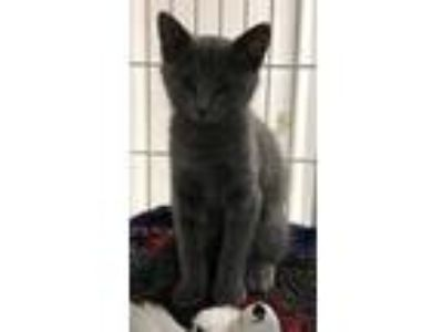 Adopt Baxter a Gray or Blue Domestic Shorthair / Domestic Shorthair / Mixed cat