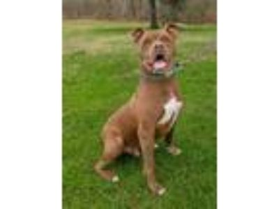 Adopt Aiden a Pit Bull Terrier