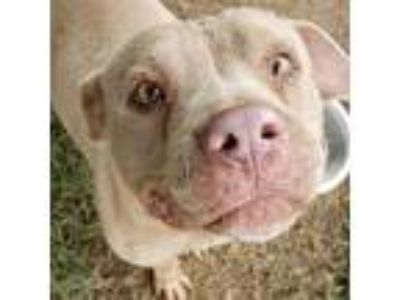 Adopt MAIZEE a Pit Bull Terrier