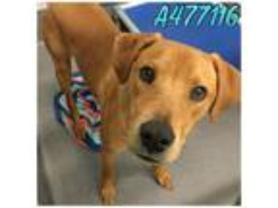 Adopt SCOOBY a Brown/Chocolate Labrador Retriever / Mixed dog in San Antonio