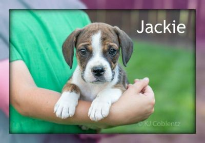Jackie: Female Beabull Puppy