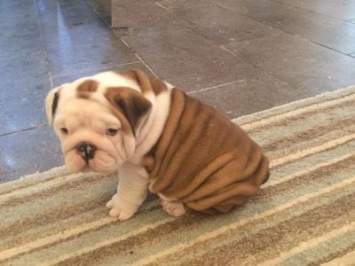Cute Wrinkled  English  BULLD0G  P,U,P,P,Y