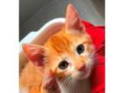 Adopt Pete a Orange or Red Domestic Shorthair / Domestic Shorthair / Mixed cat
