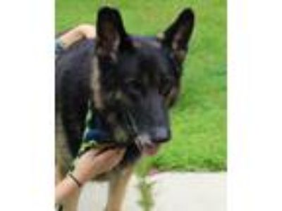 Adopt HEIKO a German Shepherd Dog