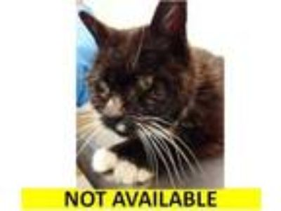 Adopt Betsy a All Black Domestic Shorthair / Domestic Shorthair / Mixed cat in