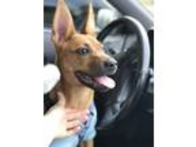 Adopt Charlie *Arriving May 18! a Tan/Yellow/Fawn - with Black Blue Heeler /