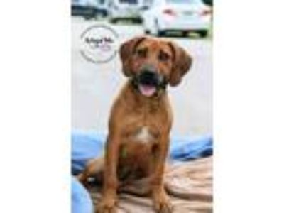Adopt Promise a Hound (Unknown Type) / Labrador Retriever / Mixed dog in