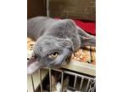 Adopt Phillip a Gray or Blue Domestic Shorthair / Domestic Shorthair / Mixed cat