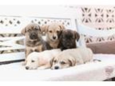 Adopt Enya Litter a Anatolian Shepherd, Pointer