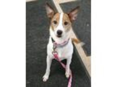 Adopt ZuZu a White - with Tan, Yellow or Fawn Feist / Terrier (Unknown Type