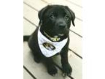"Adopt Theodore ""Teddy"" a Black German Shepherd Dog / Labrador Retriever / Mixed"