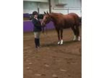Experienced Show Horse