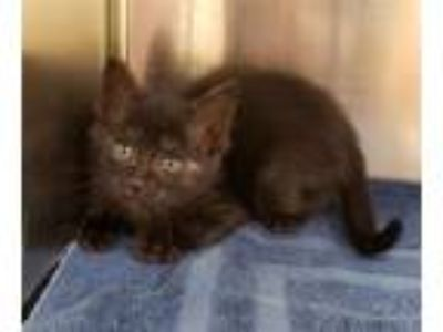 Adopt T'Challa a Domestic Short Hair