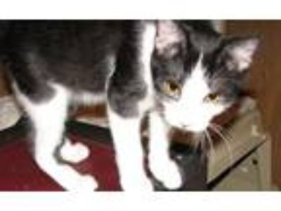 Adopt Dagda (male kitten) a Black & White or Tuxedo Domestic Shorthair / Mixed