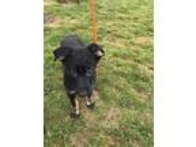 Adopt LAD a Black German Shepherd Dog / Australian Shepherd / Mixed dog in