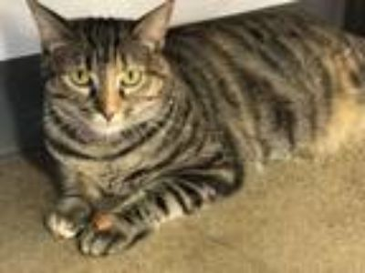 Adopt Ginny a Domestic Short Hair, Tabby