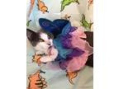 Adopt Beatrice a Gray or Blue (Mostly) Domestic Shorthair / Mixed (short coat)