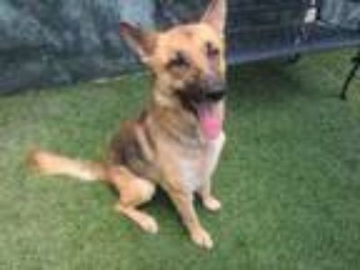 Adopt MAZE a German Shepherd Dog